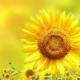 向阳花开227